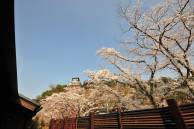 犬山城の桜、開花予想